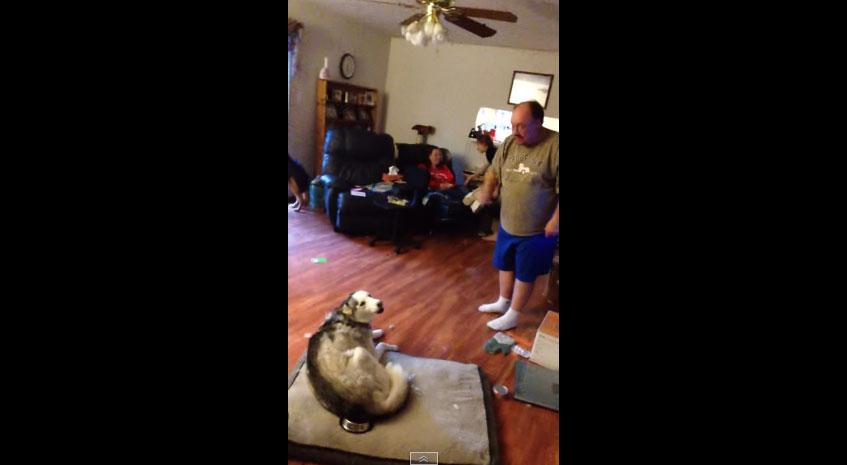 誰偷吃我的馬鈴薯!爸爸氣炸找哈士奇理論 牠沒在怕「超犀利回嘴」爸爸差點吵輸!