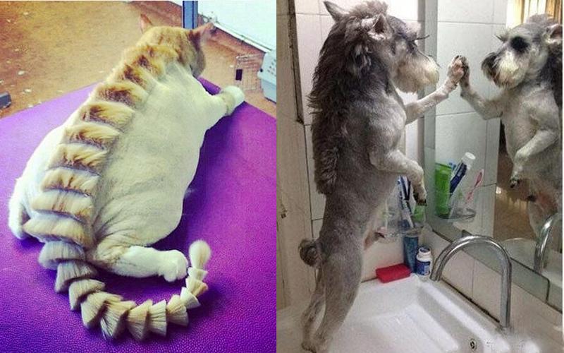 30隻「沒辦法再相信人類」的動物!貓皇被剃成草泥馬:我曾經帥過QQ...