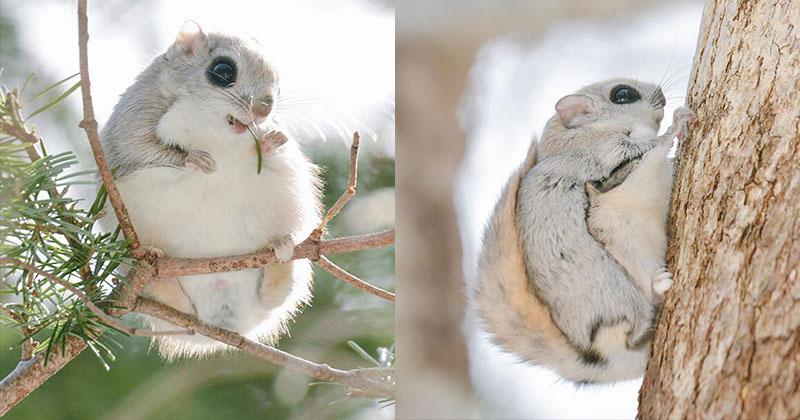 世上最可愛生物!「軟萌雪地飛鼠」外表超療癒 一滑行...讓人想移民北海道♥