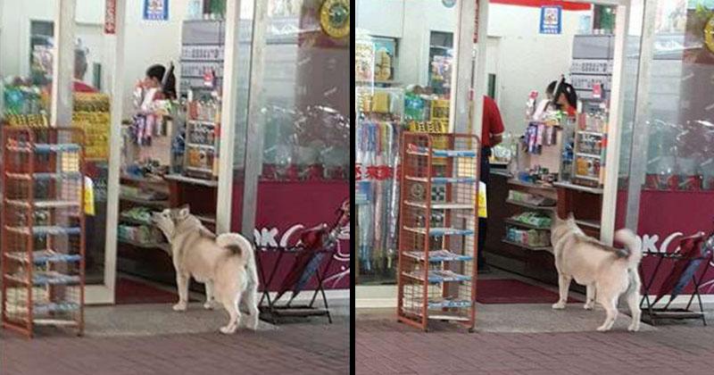 哈士奇乖乖站超商門口等吃 網友仔細一看才發現...原來他案情不單純!