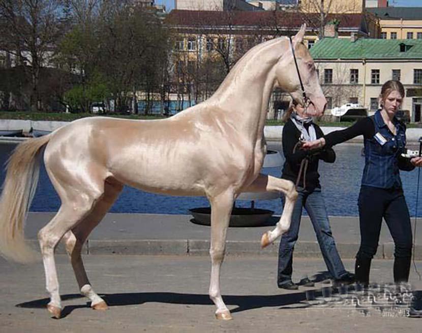 「金黃色汗血寶馬」不是只存在歷史裡 神獸級馬種讓人看了忍不住狂揉眼睛!