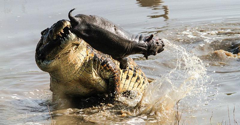 鱷魚趁河馬媽媽不在咬住小孩 媽媽回來爆氣上演「河馬 vs. 鱷魚」終極報復!
