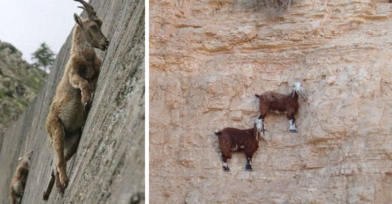 20隻在笑人類為什麼弱到需要穿登山裝的「違反地心引力超級山羊」