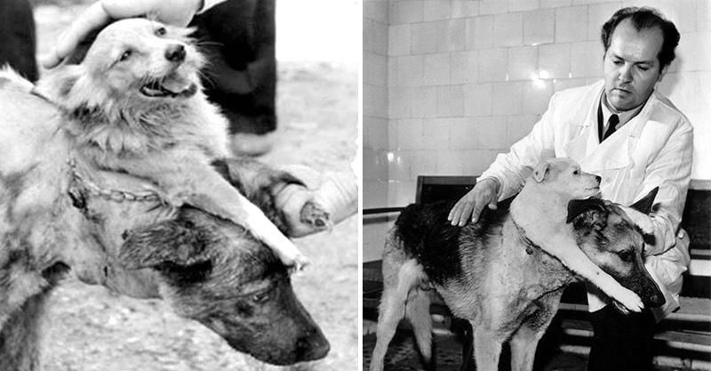 真實版地獄犬!蘇聯「把2狗縫成一隻」再讓牠復活 實驗過程驚悚到遮著眼看完...