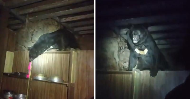 深夜驚見黑影翻箱倒櫃 原來是「台灣黑熊覓食中」火速封山半個月!