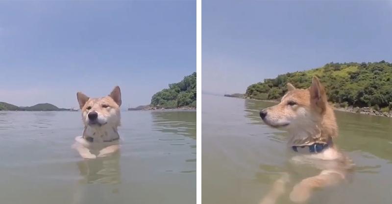 夏天94要玩水!帶柴犬去海邊卻「一臉奧嘟嘟」 敷衍划水:這麼淺游個屁