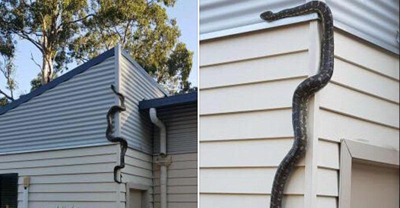 後院洗衣服一半 回頭驚見巨蟒「變貪吃蛇」爬屋頂嚇壞!