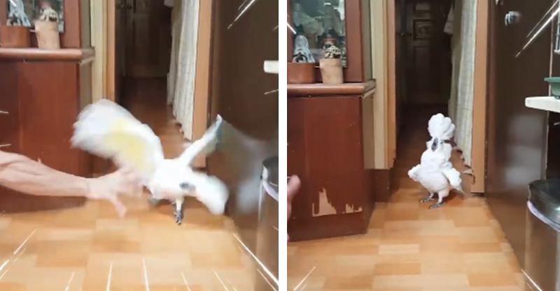 漂亮的俏鸚鵡DoReMi!「大法師助跑」被爸爸嚇到炸毛:討厭欸又嚇偶