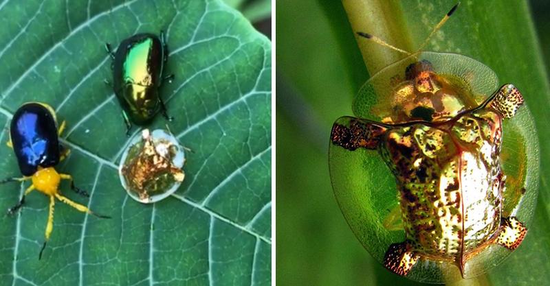 印度發現「金探子」 透明外殼還能變成紅色假扮瓢蟲!