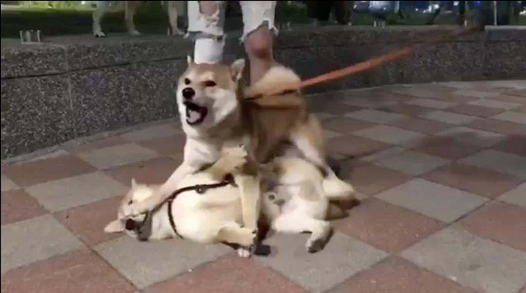 誰才是老大!2柴見面就打架 弱柴被猛壓在地:別打臉啊,俺靠臉吃飯滴~