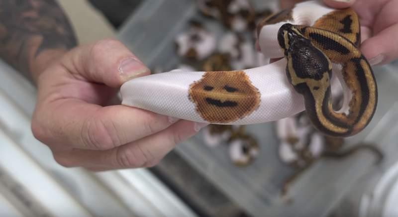 超萌「薯餅笑臉蛇」要價13萬 親弟卻長了怪臉...笑到你心裡發寒