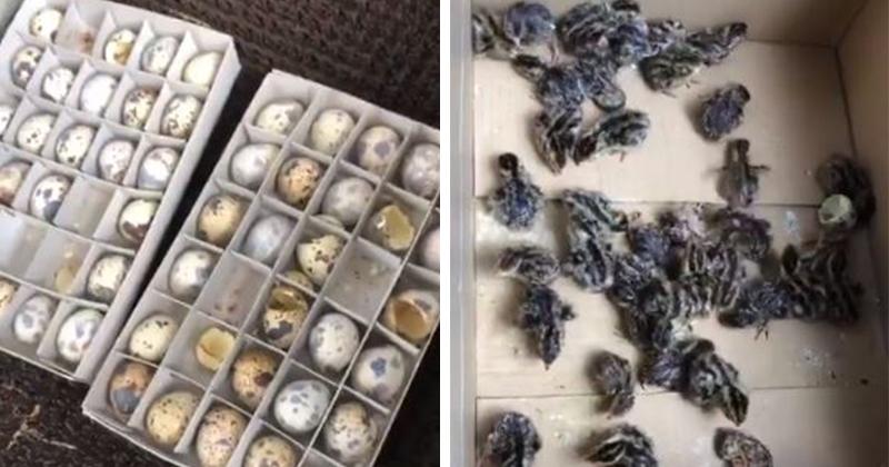 日本猛暑有多威?家中「囤來吃的150顆鵪鶉蛋」 熱到孵出大量小鵪鶉!