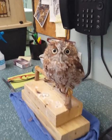 貓頭鷹被摸頭「爽到直接躺平」 一不小心摔倒秒裝傻:剛怎麼了嗎?