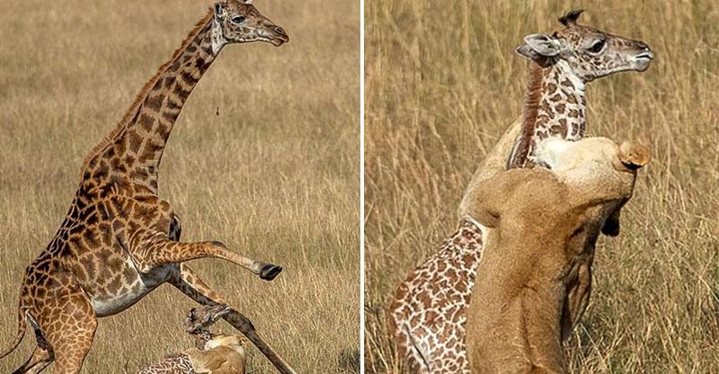 鬣狗直撲僅出生1天的寶寶!長頸鹿爆氣上演「媽媽大戰」 卻還是輸給暗處緊盯的雙眼...