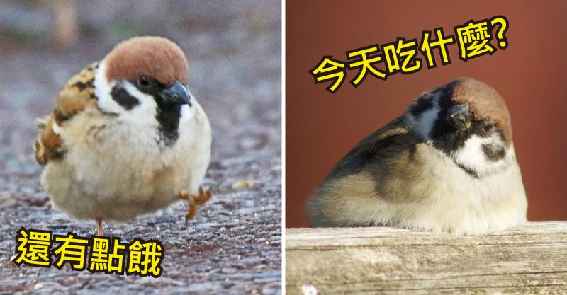 19隻「用可愛征服地球」的胖麻雀 還沒吃夠...一臉奧嘟嘟的樣子最萌了!