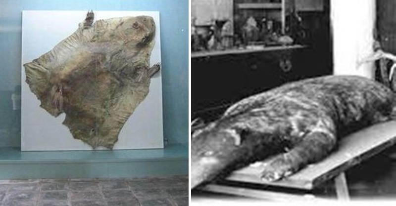 古代記載神獸竟不是神話 「獸皮直接被橫切面」展開給參觀:當時一直守護滿清皇太極!