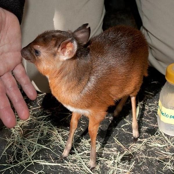 20種夠幸運才能看到的「世界上最小動物」 最小狐狸根本是寶可夢❤