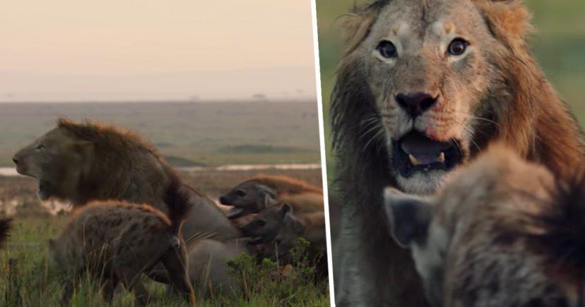 影/被20隻鬣狗圍攻「獅子嚇到眼睛泛淚」 直到神秘黑影出現...哥哥不顧性命衝過來!
