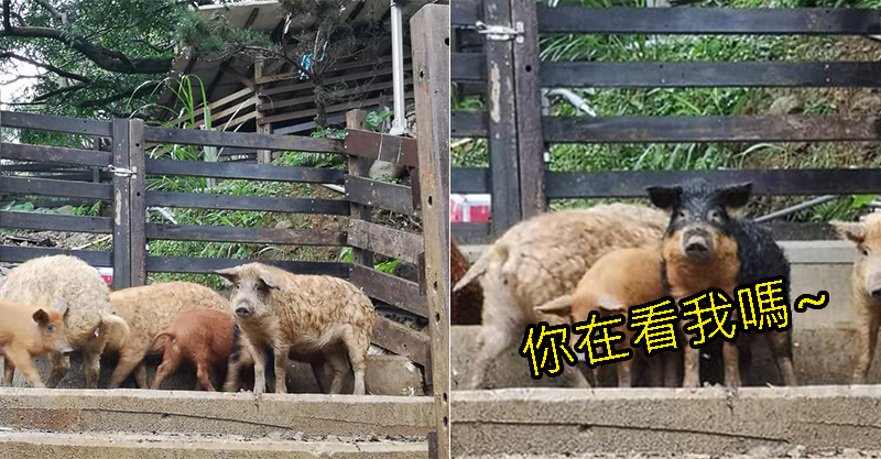 全身都是QQ的毛!「披著羊皮的豬」現身台灣牧場 3色漸層有點太犯規了♥