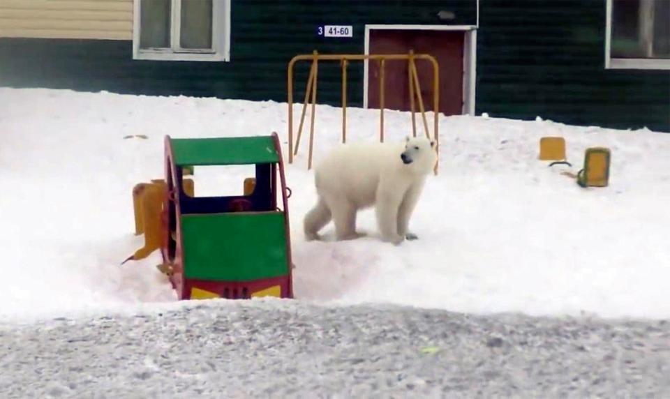 俄羅斯發生史上「最大動物逆襲」!小村「被50隻北極熊霸佔」村民嚇呆:出門就變飼料...