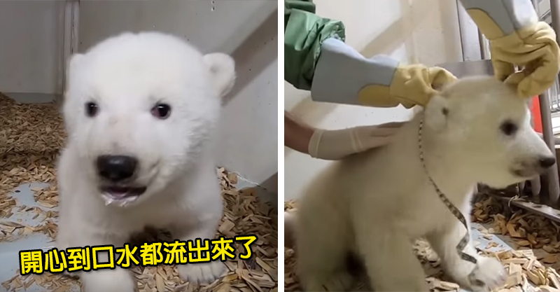 動物園人氣王上線!「11個月大」北極熊寶寶賣光門票 對鏡頭流口水萌炸♥