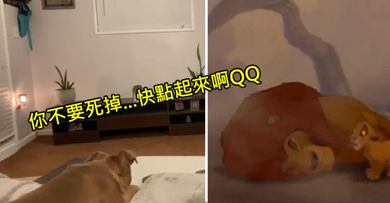 萌犬看《獅子王》超入迷!當主角爸「催淚領便當」...牠的反應讓10萬網友看傻:真的看得懂