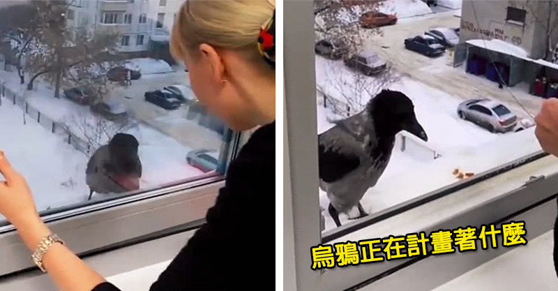 烏鴉困在雪地裡卻不願吃免費餅乾 好心女屋主打開窗戶下一秒才發現:X...中計了!