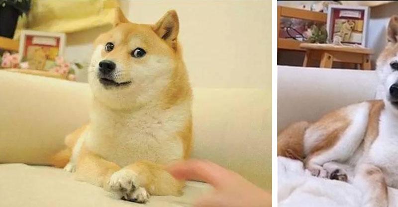超跩臉「梗圖柴犬」本尊心疼近況公開!網感嘆:牠的時間永遠停留在照片裡QQ