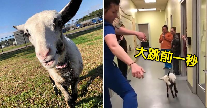 小羊終於等到最喜歡的獸醫下班 忍不住「跳超可愛熱舞迎接」網友都被萌壞了!