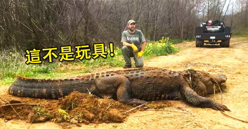 他驚見「300公斤的超巨大鱷魚」塞在水溝 路人經過全嚇傻:活的?