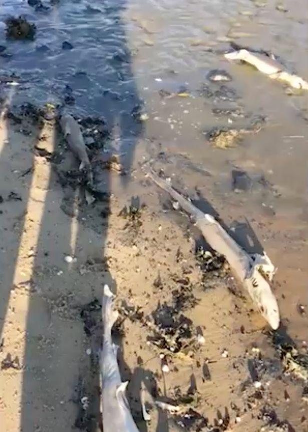 遊客驚見沙灘100隻鯊魚集體擱淺 走近驚覺牠們「背上的寶藏」全被無恥人類偷走!