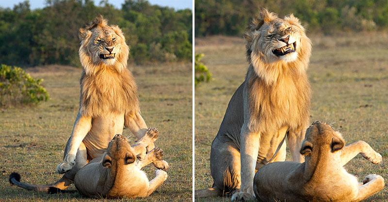 獅子夫婦「滾床單」全程被拍下 公獅露出「超詭異笑容」網笑翻:有種既視感...