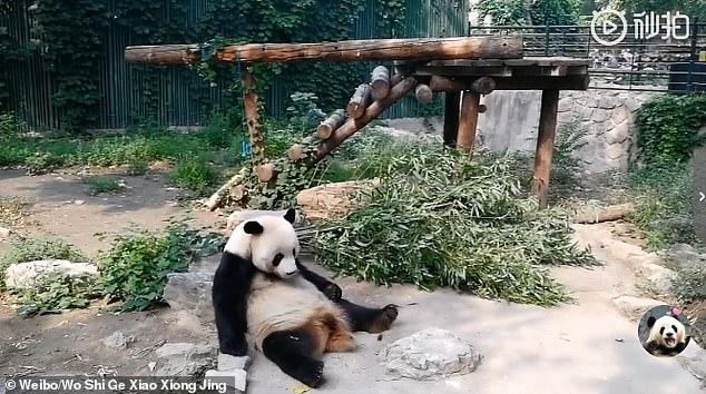 影/貓熊「睡到一半」被丟石頭 回頭發現是「沒良心遊客」的起床服務…牠不敢再閉眼!