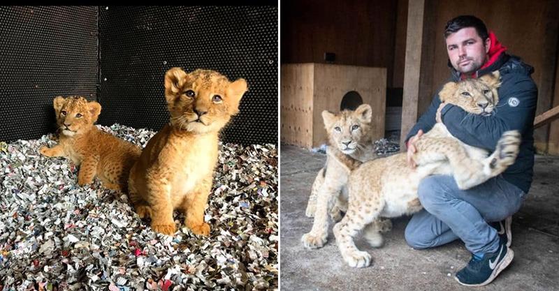 男子在後院「養2隻獅子」被鄰居抗議「要他滾」 他坦承真相後卻讓結果大逆轉!