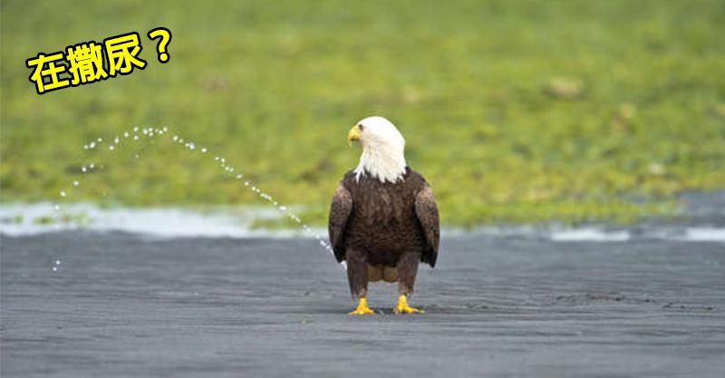 他意外捕捉「白頭鷹在撒尿」畫面被瘋傳 揭開背後「超調皮真相」讓網爆笑:海鮮在搞鬼!
