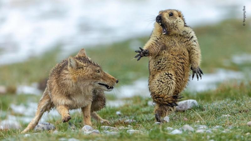2019野生動物攝影師大獎出爐 中國選手以「野狐狩獵土撥鼠照」獲得青睞!