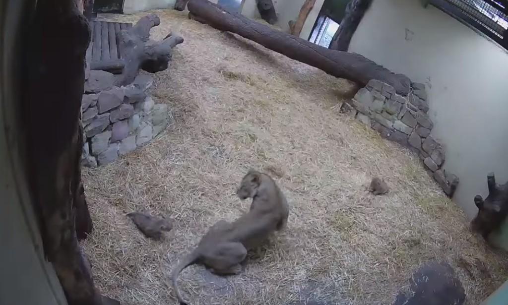 影/調皮幼獅「捉弄媽媽」畫面被瘋傳 母獅「嚇到飛彈」網笑翻:屁孩出沒