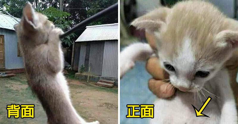 小白貓超愛「吊單槓」鍛煉身體 某天發現「肚子怪怪的」一轉身驚呆全網:貓界巨石強森!