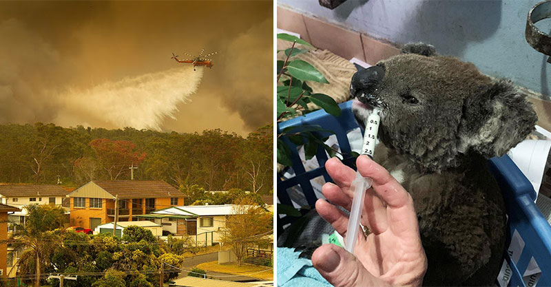 澳洲發生森林野火…竟有「一半無尾熊」遭殃 加速「滅絕危機」專家憂:本世紀就會消失