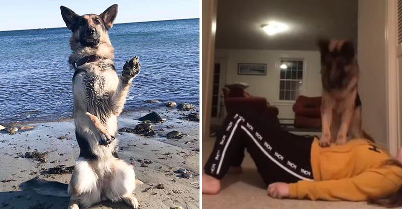 影/機智狗「幫主人做CPR」畫面被瘋傳 最後「成功被救醒」反應超爆笑!
