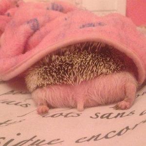 網友分享小刺蝟「睡到無防備」超萌照 熟睡中的「草莓大福」太可愛!