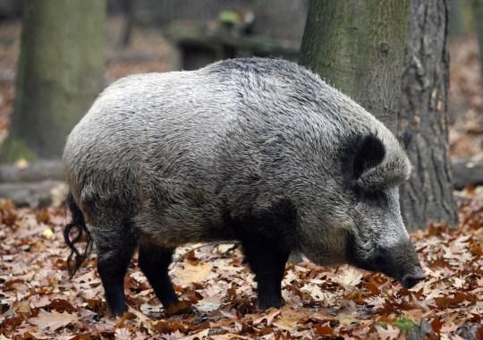 野豬翻出毒販藏山上「66萬白粉」立大功破案 網笑:該收編當緝毒豬!