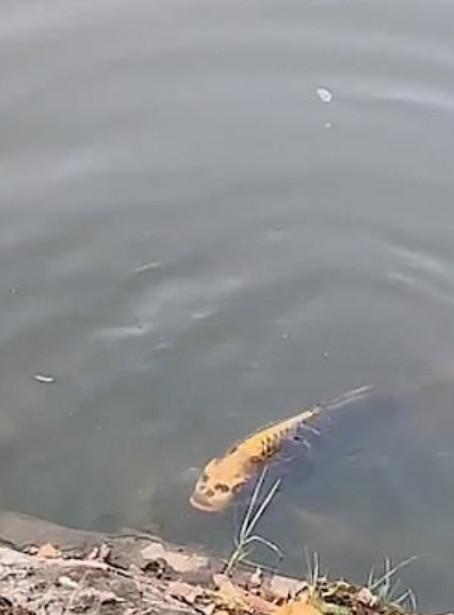 影/網瘋傳「真實人面魚」驚悚片段 飼養員出面曝「已經養3年」眾人嚇壞:魚肉好吃某?