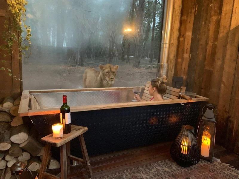 飯店主打「老虎、獅子近距離接觸」連泡澡都盯著看 親身體驗大自然魅力!