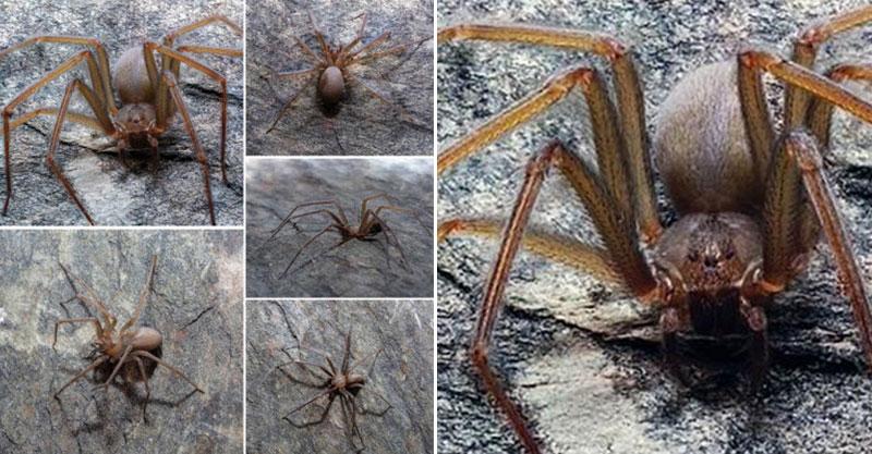 比蜘蛛人那隻還猛!「猛毒蜘蛛」被發現 最愛躲在人類家裡「咬一口」就腐蝕