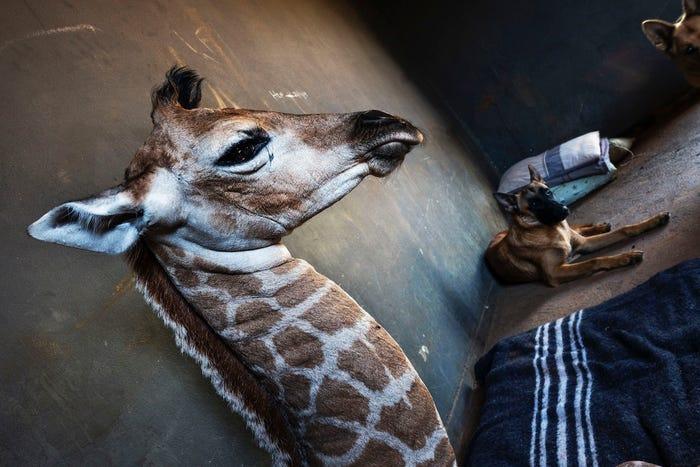 長頸鹿跟狗「跨種族友誼」永遠缺伴 小狗獨守「好友的房間」畫面超揪心!