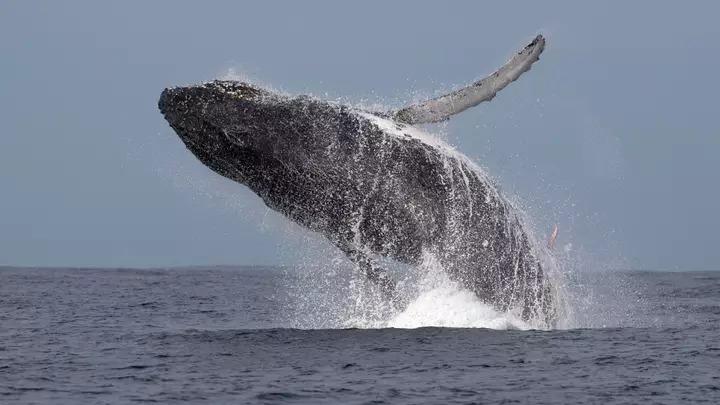 攝影師拍到「鯨魚的3公尺寶貝」驚嘆:跟流星一樣稀有!