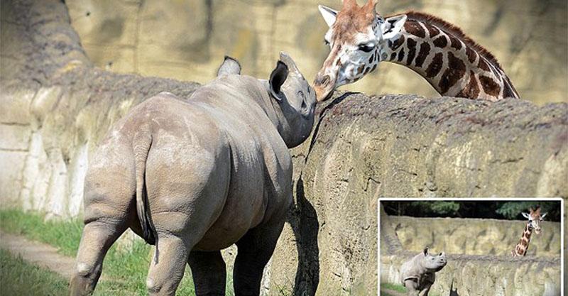 為什麼長頸鹿脖子那麼長?為了「跟隔壁鄰居偷情」甜蜜一吻太萌了!