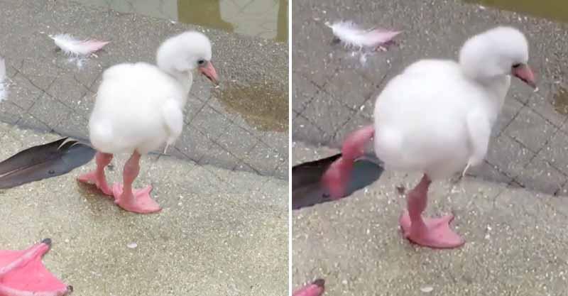 紅鶴寶寶練習單腳站立!用盡全力「單腳抖抖抖」模樣萌壞網友:想幫牠加油